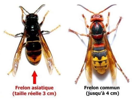 Frelon asiatique Commun